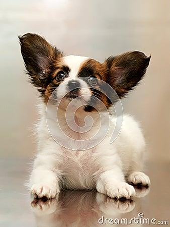 Free Puppy Papillon Royalty Free Stock Photos - 17639828