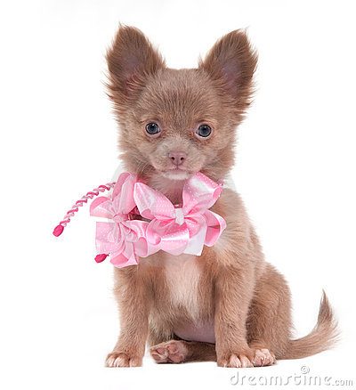 Puppy with pink ribbons