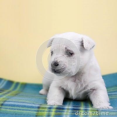 Puppy on a plaid