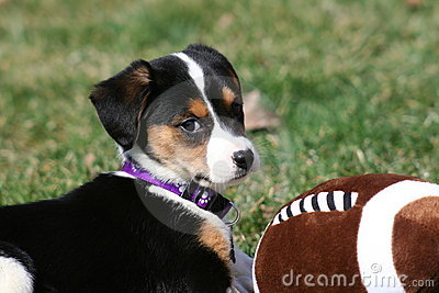 Puppy playing with football