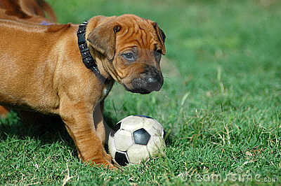 Puppy playing with football toy