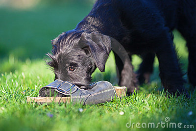 Puppy is playing with a sandal