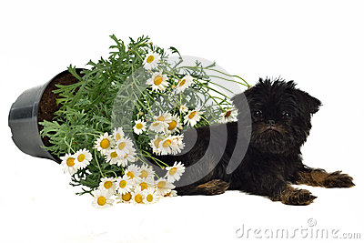 Puppy with a pot with Daisies on the floor