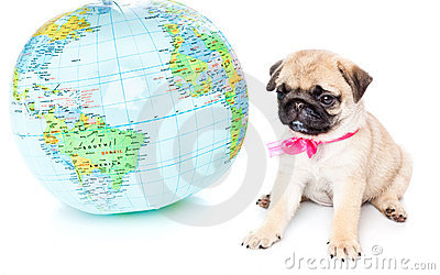 Puppy of pug on globe