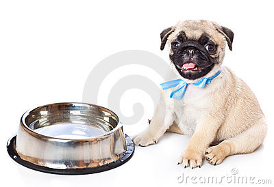 Puppy of pug near bowl
