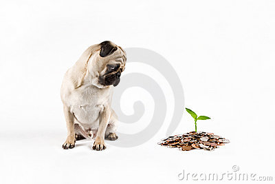 Puppy pug watching money growing