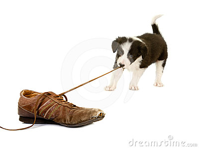 Puppy pulling shoe lace