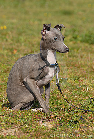 Italian Greyhound Puppies on Free Stock Images  Puppy Purebred Italian Greyhound  Image  8707039
