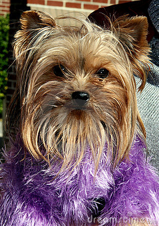 Puppy in purple