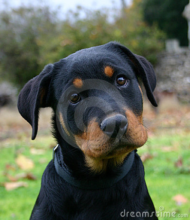 Free Puppy Rottweiler Stock Image - 1727331