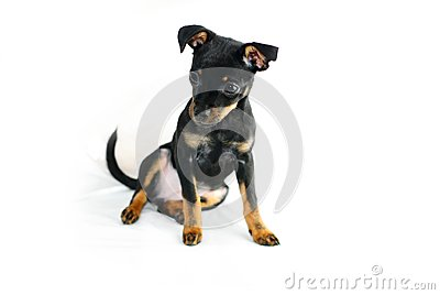 Puppy of russian toy-terrier