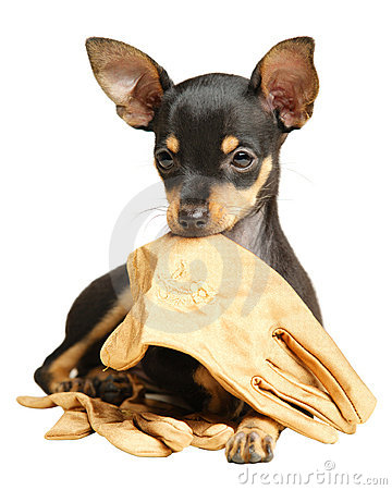 Puppy Russkiy toy terrier lying with gloves