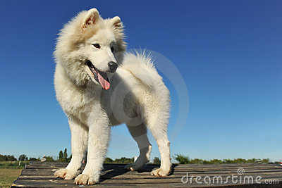 Puppy samoyed dog