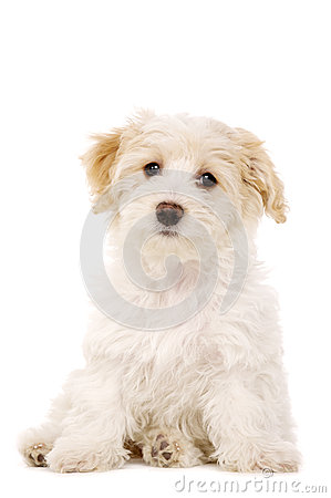 Puppy Sat Isolated On A White Background Royalty Free Stock Photo - Image: 28900265