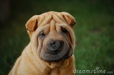 Puppy sharpei s portrait 6