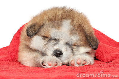 Puppy sleep, covered with a blanket