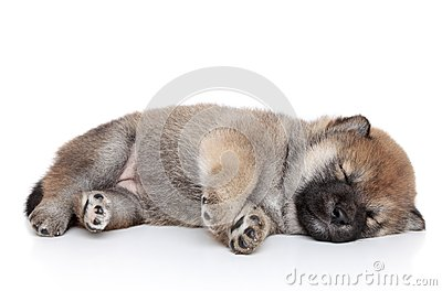 Puppy sleep on white background