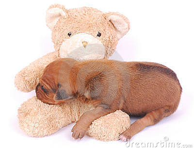 Puppy sleeping on teddy bear