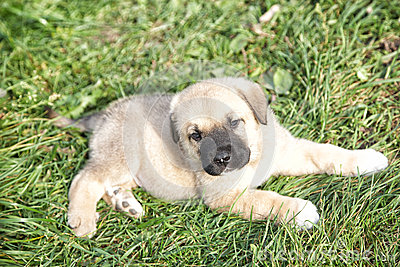 Puppy of the Spanish mastiff in the afternoon on the nature