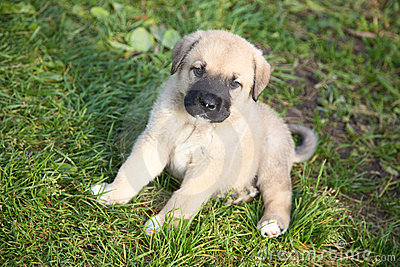 Puppy of the Spanish mastiff on a  grass