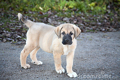 Puppy of the Spanish mastiff on walk in  autumn