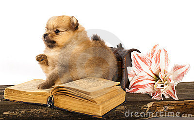 Puppy spitz and  book