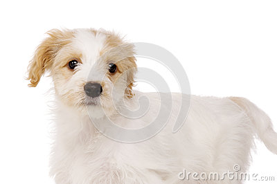 Puppy stood isolated on a white background