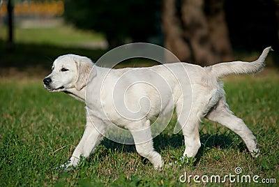 Puppy trotting