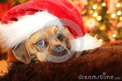 Puppy waiting for Santa