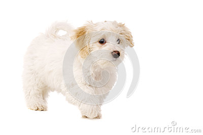 Puppy walking isolated on a white background