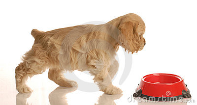 Puppy walking to food dish