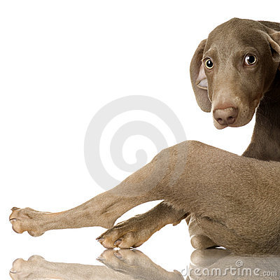 Free Puppy Weimaraner Royalty Free Stock Images - 2646799