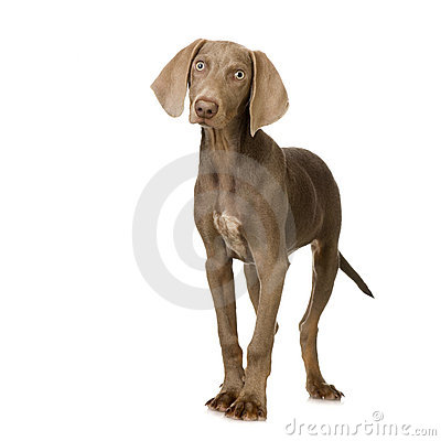 Free Puppy Weimaraner Royalty Free Stock Photography - 2646827