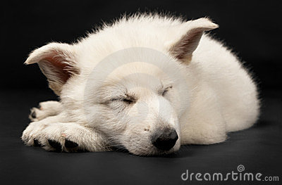 Puppy of the white sheep-dog