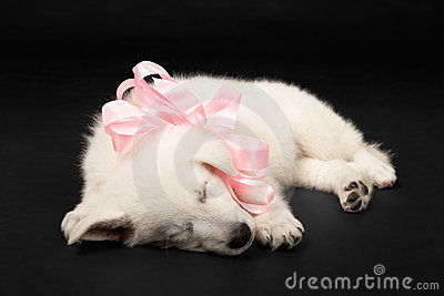 Puppy of the white sheep-dog with a bow on a neck
