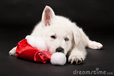 Puppy of the white sheep-dog sleeps in a New Year
