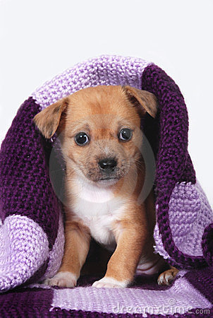 Puppy wrapped in purple blanket