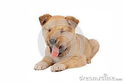 Puppy Yawning on White