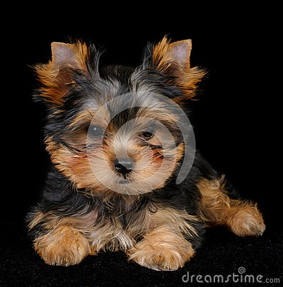 Puppy of the Yorkshire Terrier on black