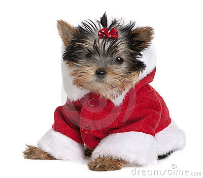 Puppy Yorkshire Terrier, dressed in Santa coat