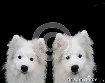 Puppys萨莫耶特人
