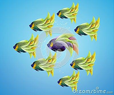 Purble angelfish between group of green angelfish