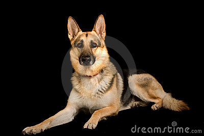 Pure bred german shepherd