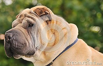 Pure-bred Shar Pei dog