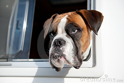 Pure breed bull dog