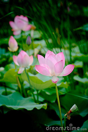Pure and clean lotus