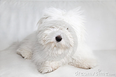 Pure Coton de Tuléar dog