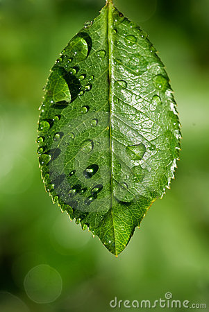 pure Water drops on green leaf