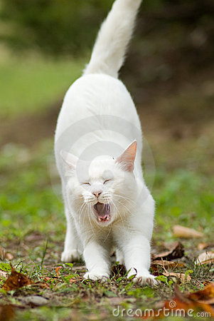 Pure white cat yawning