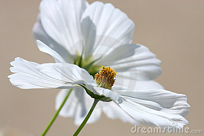 Pure White Cosmos Blossoms